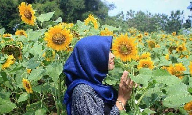 Keindahan kebun bunga matahari kediri