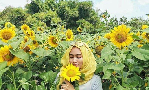 Tiket masuk murah kebun bunga matahari kediri