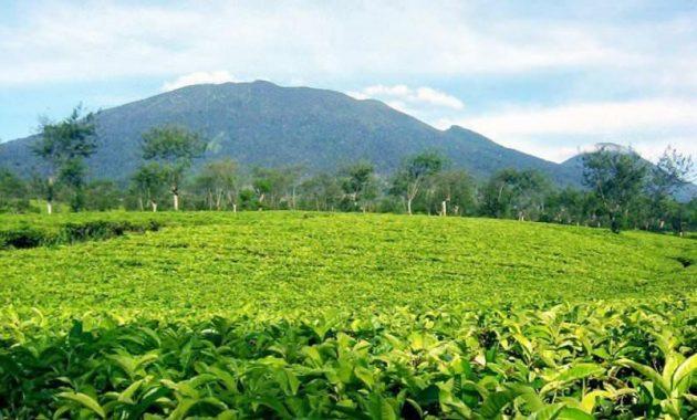 Keindahan Wisata Kebun Teh Wonosari Lawang Malang