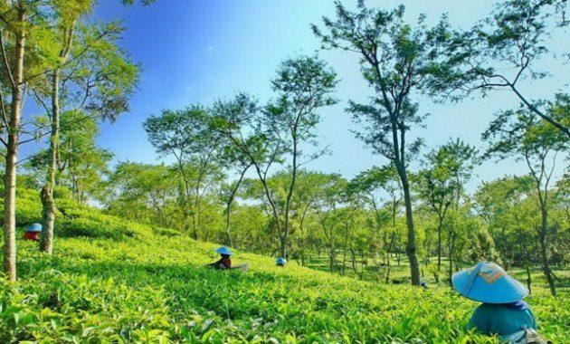 Lokasi Wisata Kebun Teh Wonosari Lawang Malang
